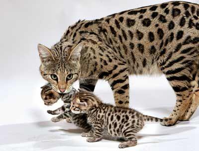 Мать и ее детеныш породы Саванна фото