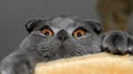 Scared Scottish Fold
