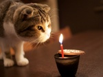 Scottish Fold and candle