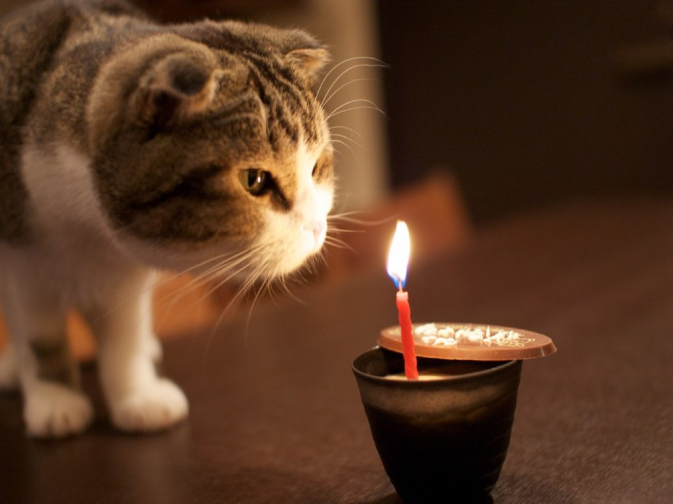 Scottish Fold and candle wallpaper