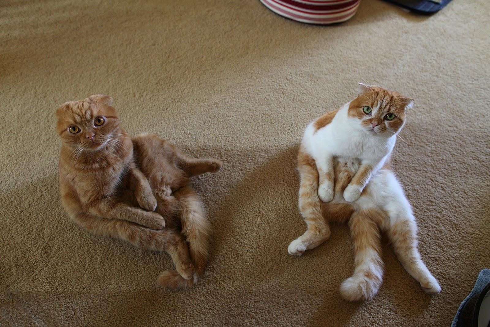 Scottish Fold cats wallpaper