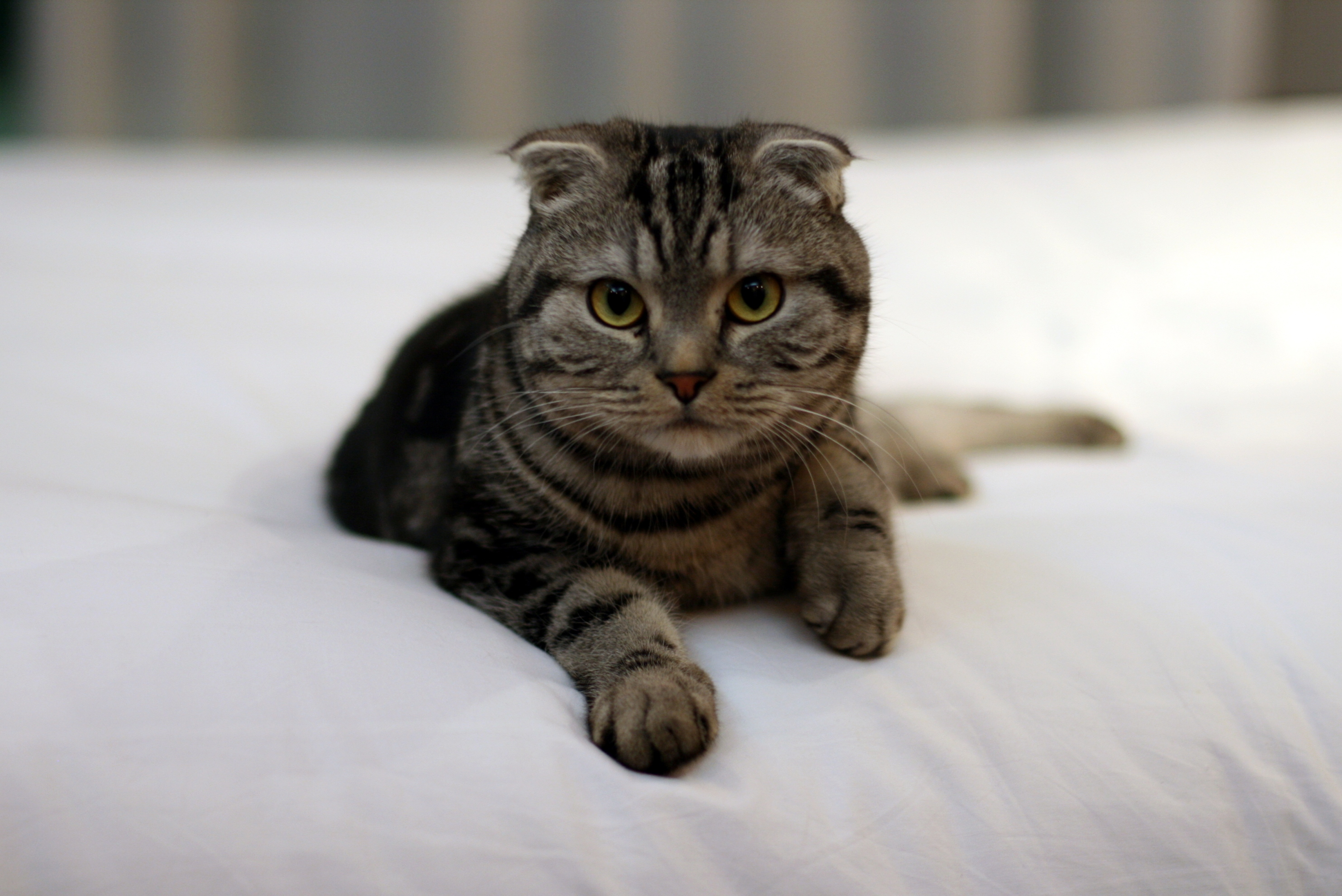 Scottish Fold on the bed wallpaper