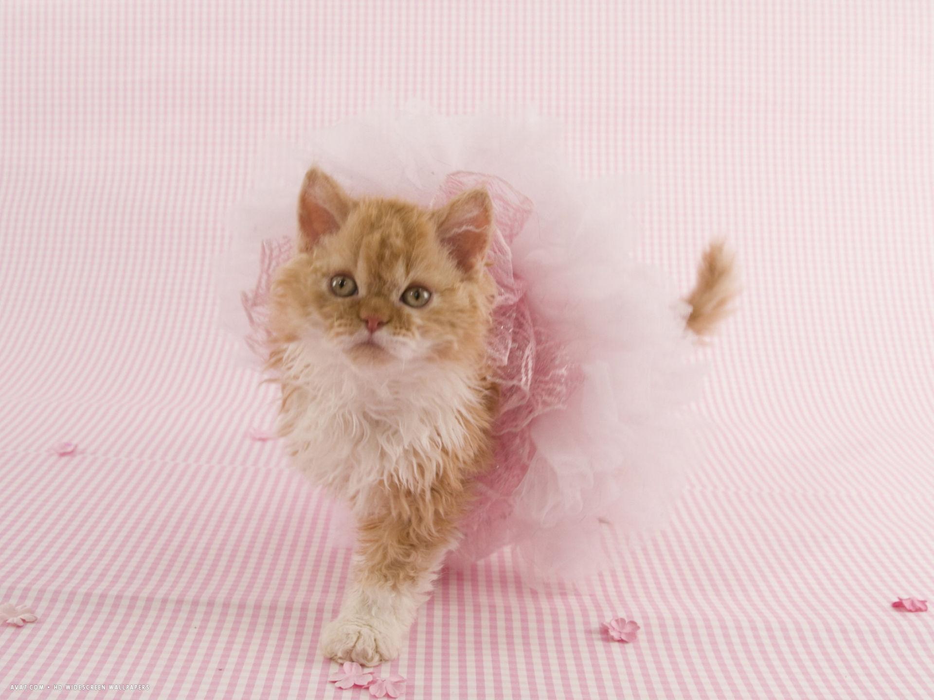 Selkirk Rex kitten girl wallpaper
