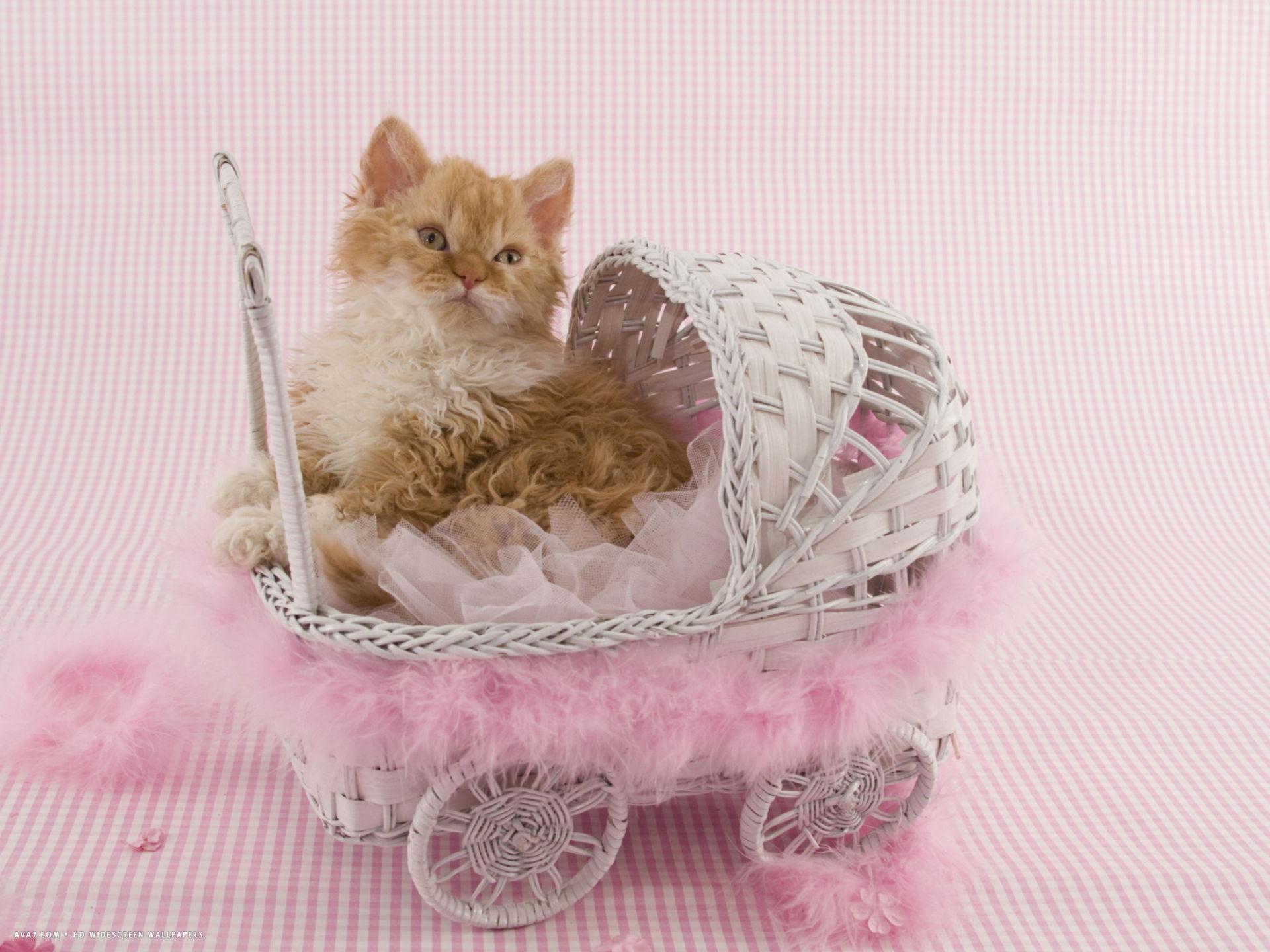 Selkirk Rex kitten in buggy wallpaper