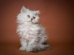 Selkirk Rex kitten portrait