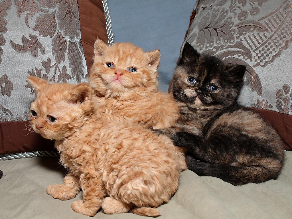 Selkirk Rex kittens wallpaper