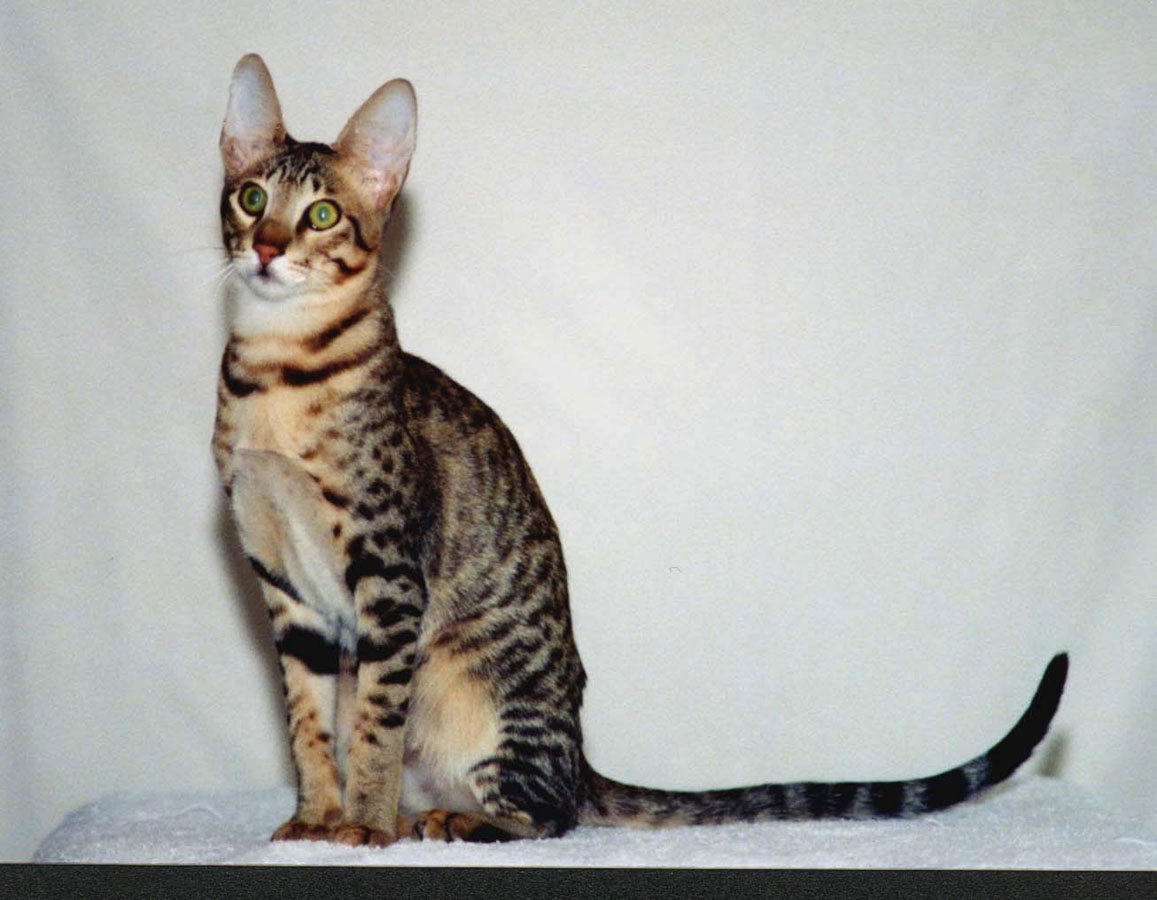 Serengeti cat sitting wallpaper