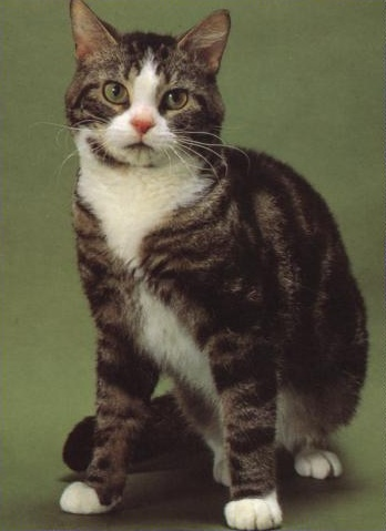 Serious American Wirehair  wallpaper
