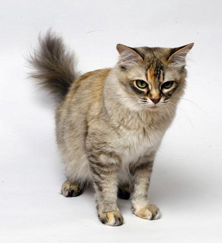 Серьезная Азиатская полудлинная кошка фото