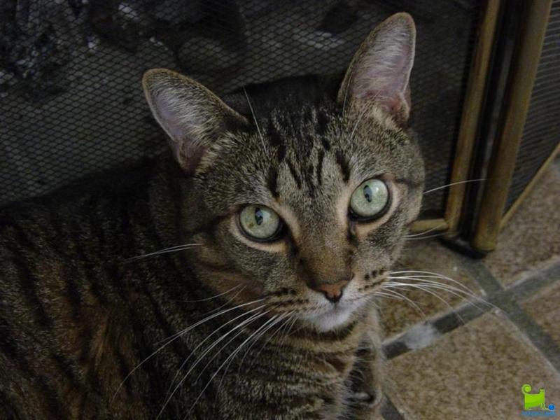 Серьезная Калифорнийская сияющая кошка фото