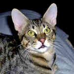 Серьезная кошка породы Чаузи