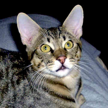 Серьезная кошка породы Чаузи фото