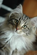 Серьезная Норвежская лесная кошка