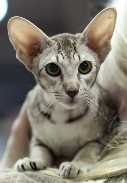 Serious Oriental Shorthair wallpaper
