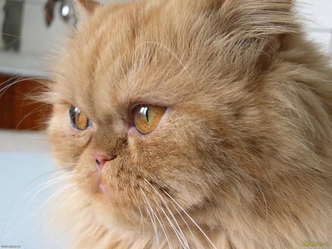 Серьезный персидский кот фото