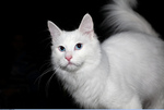 Serious Turkish Angora