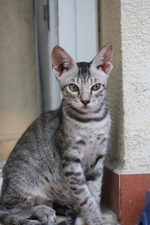 Serrade petit cat