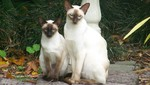 Siamese cats in forest