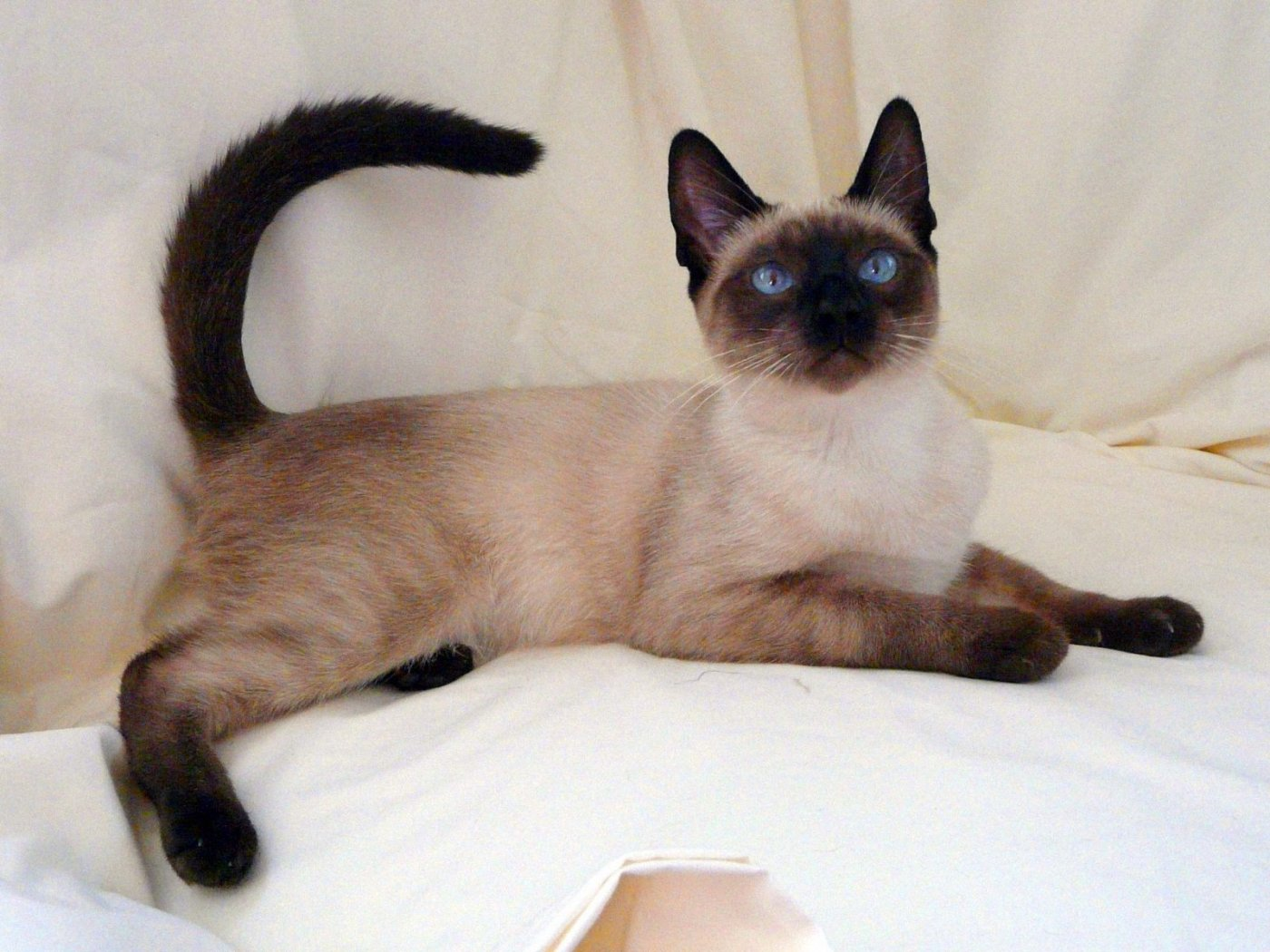 Siamese on the bed wallpaper