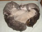 Siberia kittens