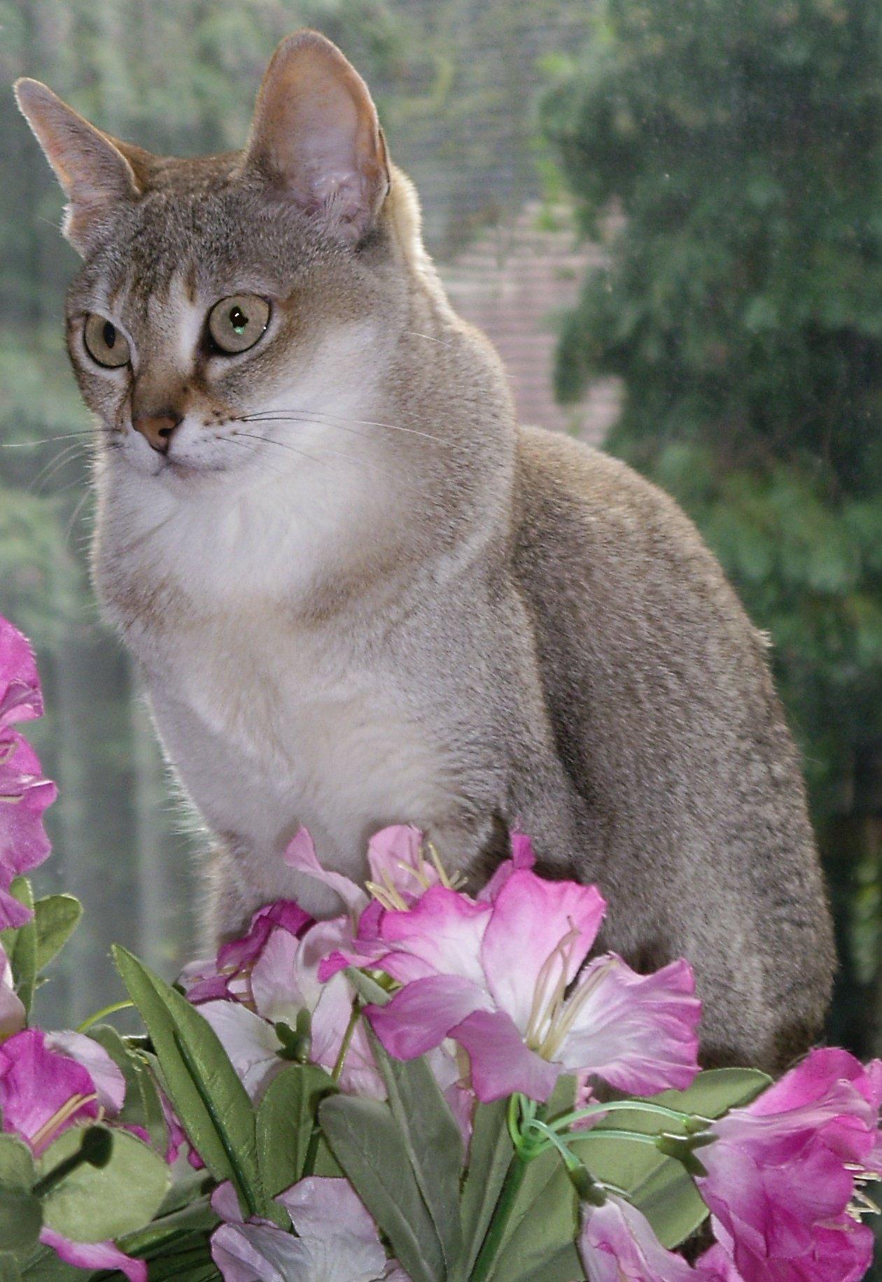 Кот породы Сингапура с цветами фото