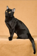 Sitting Bombay cat