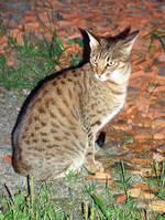 Sitting Ocicat