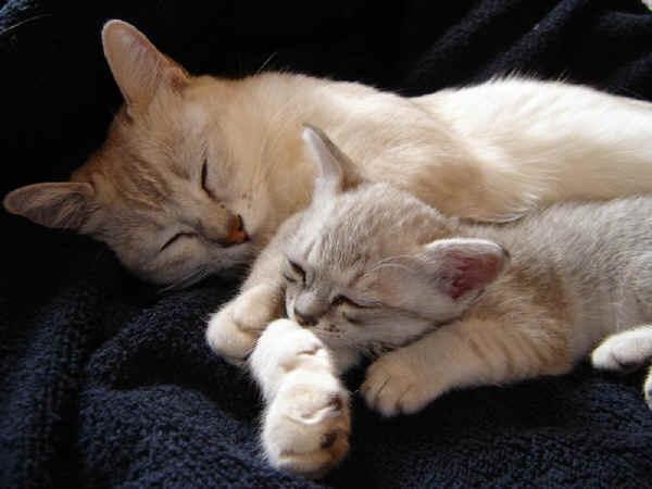 Спящая семья Бурмилла фото