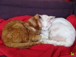 Sleeping Devon Rex cats