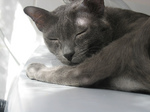 Sleeping Korat