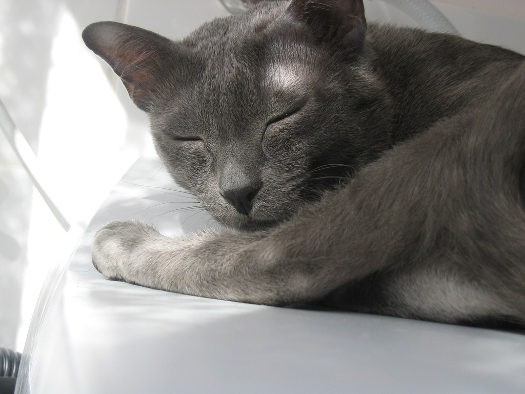 Sleeping Korat wallpaper