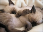 Sleeping Siamese kittens