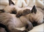 Спящие котята Сиамской кошки