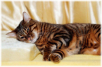 Sleeping Toyger cat