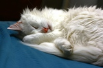 Sleeping Turkish Angora