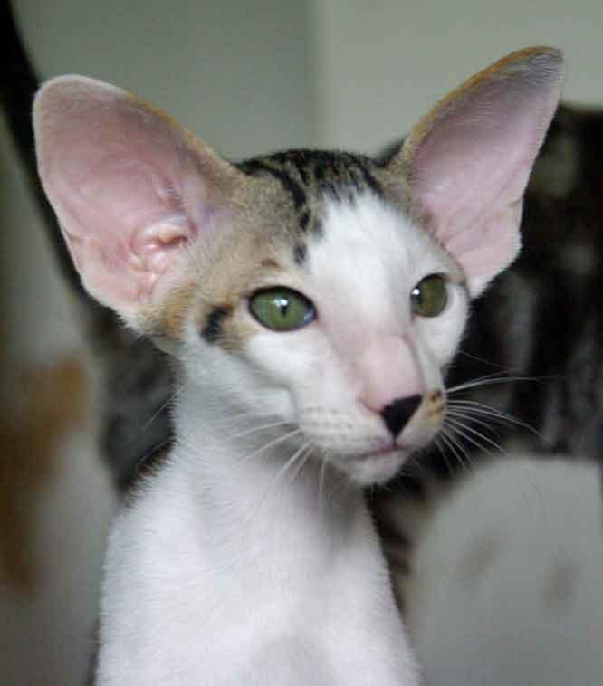 Умный кот породы Ориентал короткошерстный фото