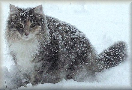 Snowing Norwegian Forest Cat  wallpaper