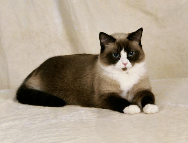 Портрет кота породы Сноу-шу фото