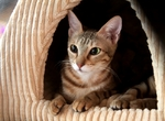Sokoke in cat house