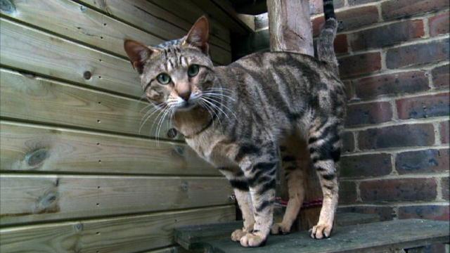 Кот породы Сококе в углу фото