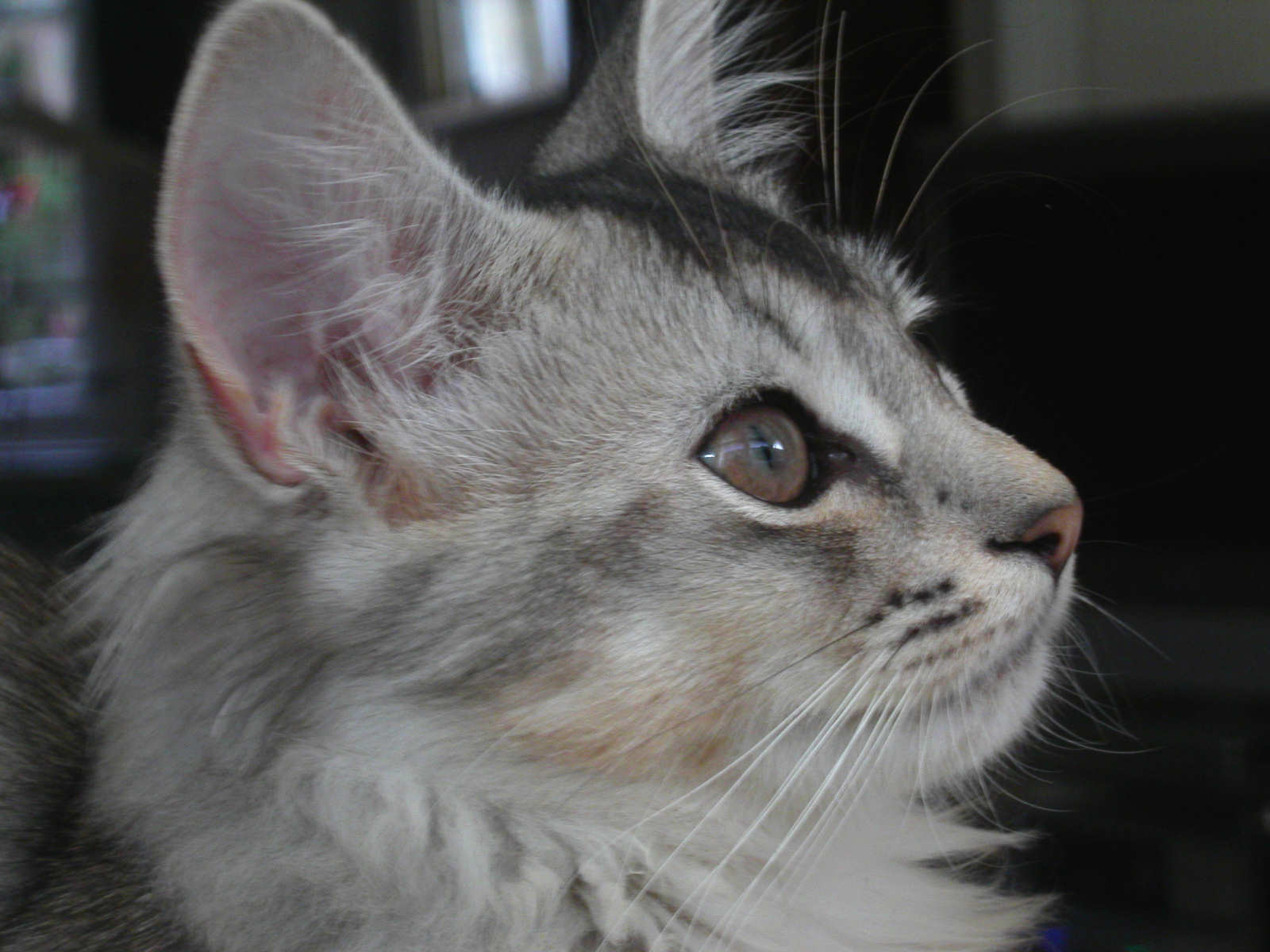 Морда кота породы Сомали фото