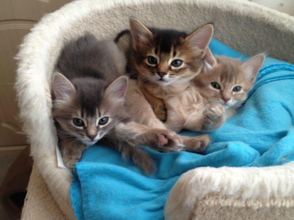 Somali kittens wallpaper