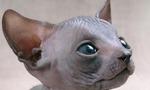 Sphynx kitten face
