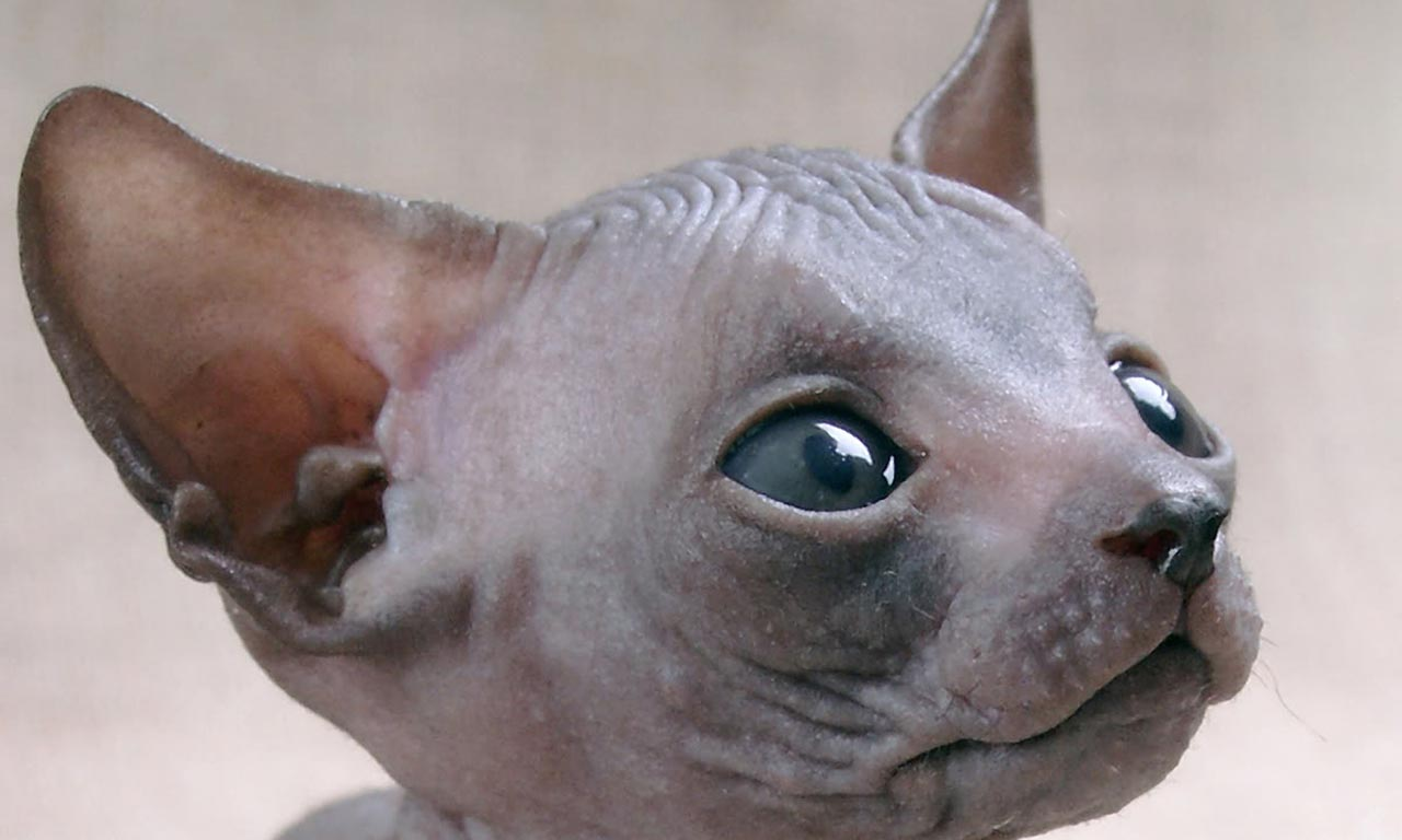 Морда котенка породы Сфинкс фото
