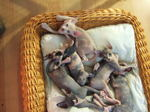 Sphynx kittens in basket