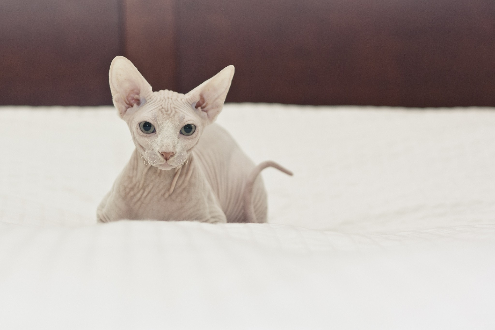Sphynx on the bed wallpaper