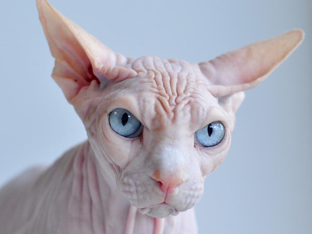 Sphynx with blue eyes wallpaper