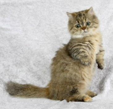 Кот породы Наполеон стоит фото