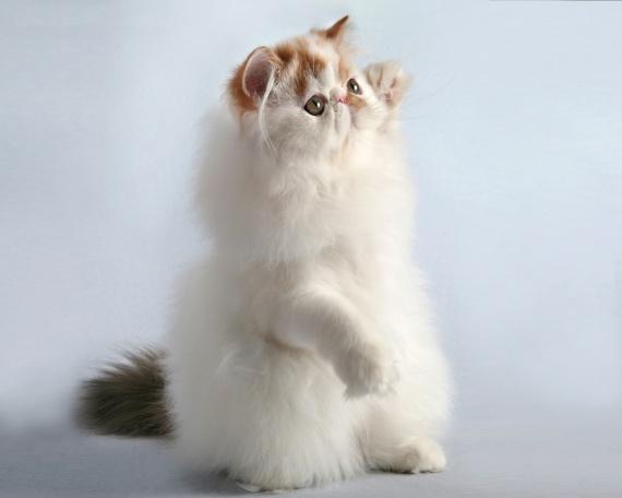 Персидский кот стоит фото