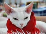Stylish Devon Rex
